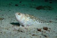 Самые ядовитые рыбы Черного моря. Морские драконы и морские коровы.